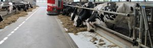 Diary cows in barn