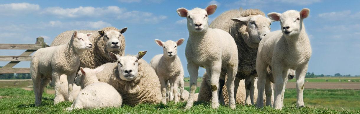 Bull and Ram fertility testing