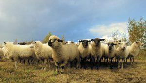 Sheep at Cheshire Farm Vets