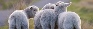 baby lambs in Cheshire